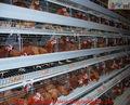 pollo jaulas de ponedoras