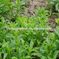 orgánica de stevia extracto de hoja de