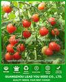 Semillas de tomate cherry f1 híbrido redondas TT01 Laike, semillas de hortalizas