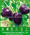 SP09 Zixing No.2 semillas mediados de madurez campana híbrido pimienta, semillas de pimiento