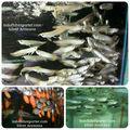 Tropical peixes aruanã prata 5-6 cm(indofishexporter.com)