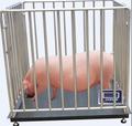balanzas para el cerdo