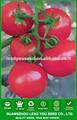 JT22 Nobel semillas de tomate f1 determinado híbrido de siembra de efecto invernadero