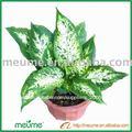 Dieffenbachia compacto interior plantas vivero