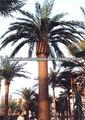 2013 venta caliente al aire libre la fecha artificial de árboles de palma con precio favorable