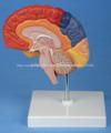 Derecho Del Cerebro Con Diferentes Zona Funcational