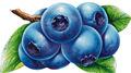blueberry proanthocyanin fábrica