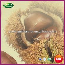 chino 2013 yanshan castaña fresca de materia prima para el secado de castañas