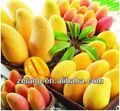 extrait de feuilles de mangue sauvage