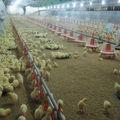 bangchi automático de alimentación de aves de corral equipos