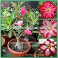 Vaso de planta do deserto rosa adenium