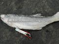 pescado congelado Kurau / barbudo de cuatro dedos de pescado threadfin