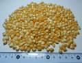 Maiz pisingallo / popcorn de Argentina