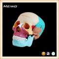 modelo de cráneo cromatográfico de separación médico anatómica modelo de cráneo