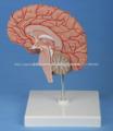 Derecho Del Cerebro Modelo
