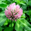 Red Clover Extract Trifolium pratense extract
