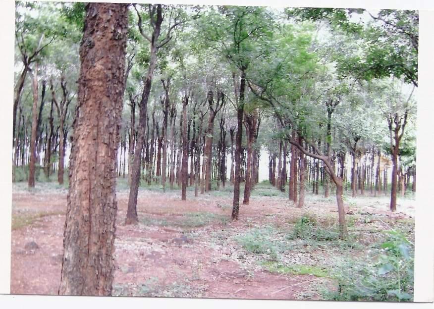 Bois de santal rouge arbres ~ Bois De Santal Rouge