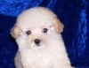 Poodle Puppy Beautifull Male