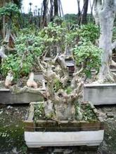 Lagerstromia Indica Bonsai