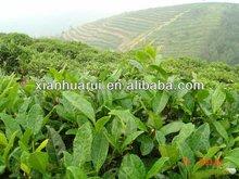 Organic 98% L-theanine Green Tea Extract