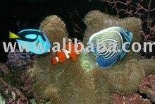 Sell Aquarium Marine Fish