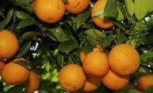 Oranges (sweet & juicy) or Orange Pulp from Land of oranges i. e Sargodha, Pakistan