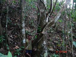Falcata Tree