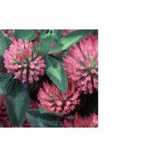 Red Clover Extract 20-40% Isoflavones