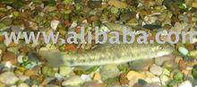 Spa Fish (Garra Rufa )
