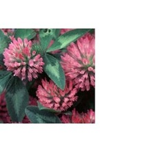 Red Clover Extract 20-40% Isoflavones