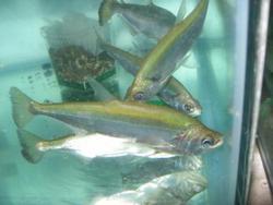 HUAPETA ORNAMENTAL FISH