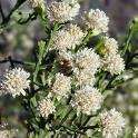 Baccharis Medicinal Herbs