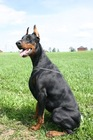 puppies Dobermann
