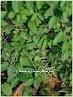 Gurmar (Gymnema Sylvestre) product