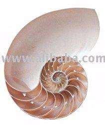 Philippine Rare Shells