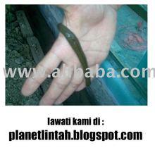 Induk dan Benih Lintah (Leeches)