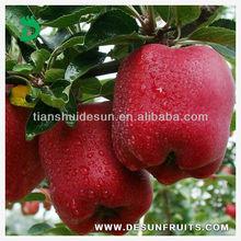 fresh red delicious crisp high quality huaniu apple
