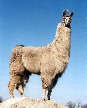 Llama Skin