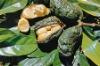 Cola nut