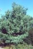 Pinus Wallichiana plant