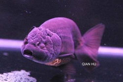 Ranchu Fish