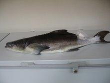 COBIA / SUGI FISH