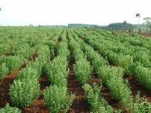 Stevia ( Stevia rebaudiana), Ruda (Ruta graveolens)