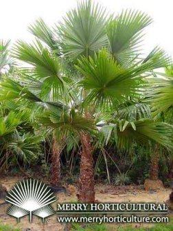 Livistona rotundifolia palma