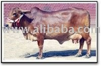 DAIRY FARMING COWS