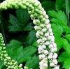 Actaea Racemosa / Bugbane / Cimicifuga Romose L. Extract