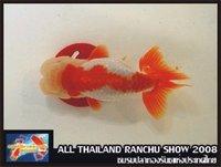 Top View Ranchu goldfish