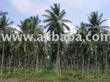 Cocos nucifera Palm tree