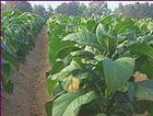 Tobacco Absolute (Nicotania tabacum)