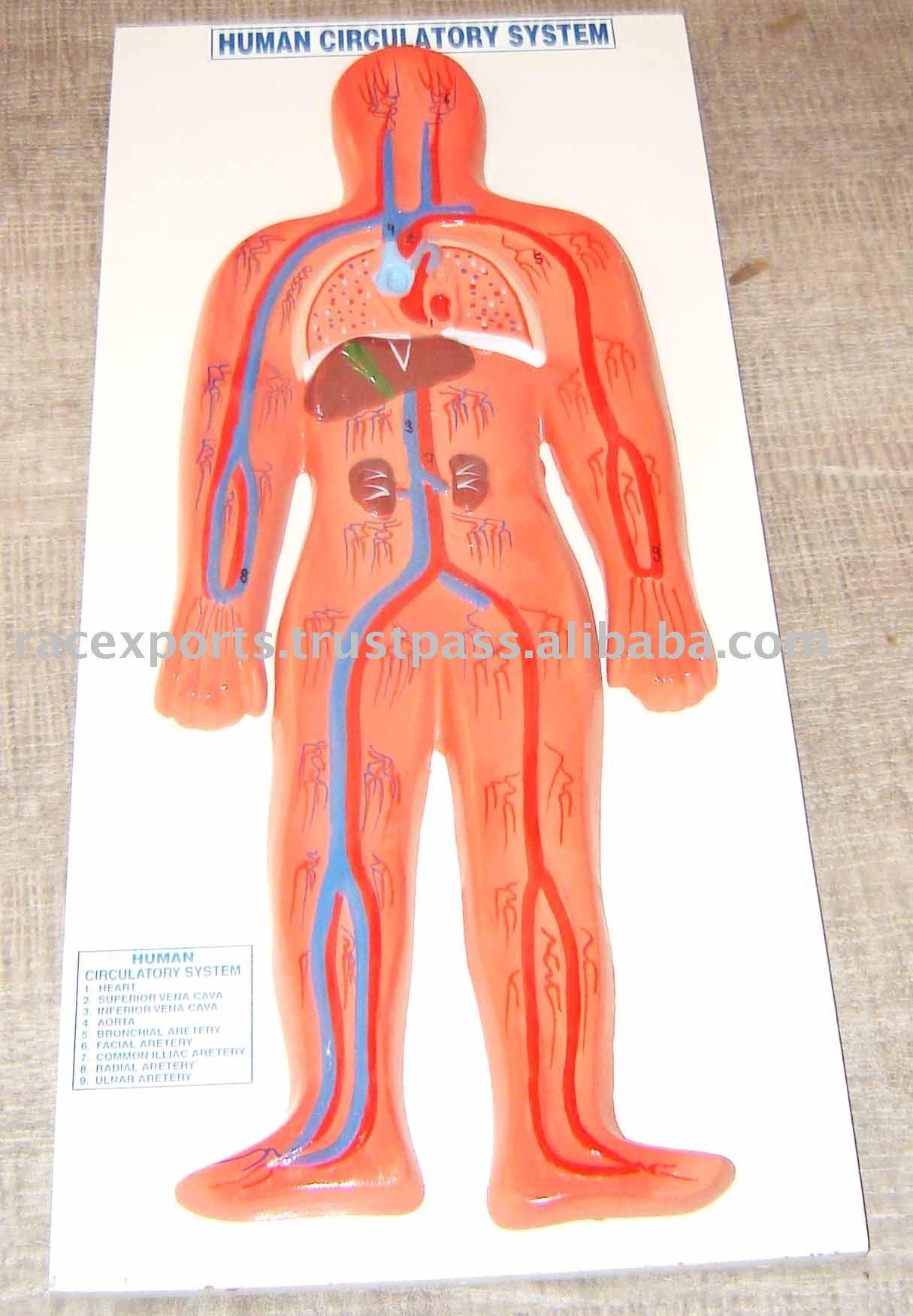 modelo del sistema circulatorio humano-Otros Suministros ...
